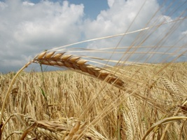 german-grain-field-wallpapers_489_1024
